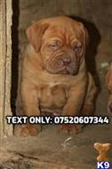 dogue de bordeaux puppy posted by RobertMabrey115