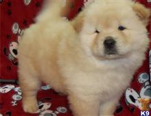 chow chow puppy posted by Sofiaperil18