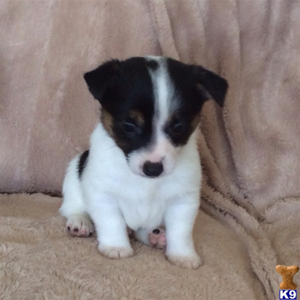 miniature jack russell terrier puppies for sale gorgeous pure bred miniature jack russells 43188 2099