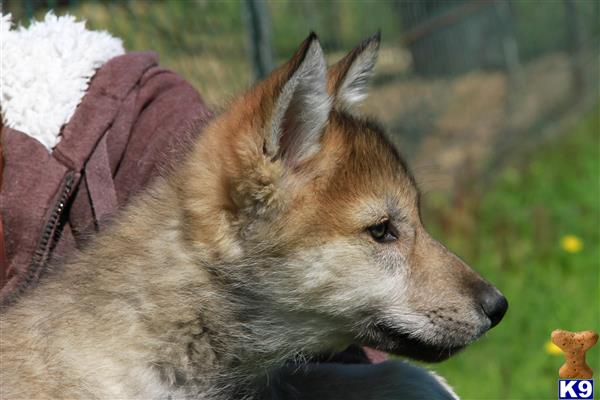 Wolf Hybrid Puppies Ready For New Home For Sale