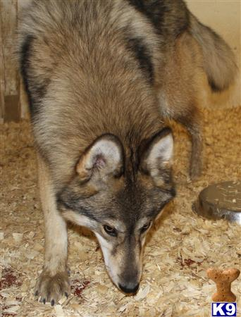 A1 Wolfdogs Picture 1