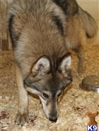 wolf dog puppy posted by A1 Wolfdogs