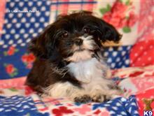 cavalier king charles spaniel puppy posted by aallen
