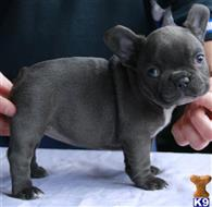 french bulldog puppy posted by aaneasg