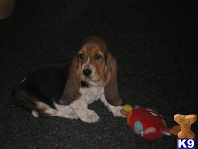 Abbeybrook Bassets Picture 2