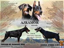 doberman pinscher puppy posted by ajramor