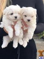 maltese puppy posted by alainjeo