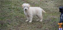 golden retriever puppy posted by alcwxwju