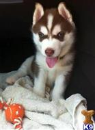 siberian husky puppy posted by alengeorge112