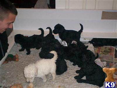 Standard Poodle Puppies on Standard Poodle Puppies   Poodle Puppy For Sale In The Uk