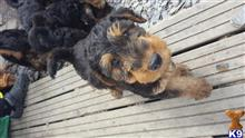 airedale terrier puppy posted by Amydean296