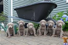 labrador retriever puppy posted by andina