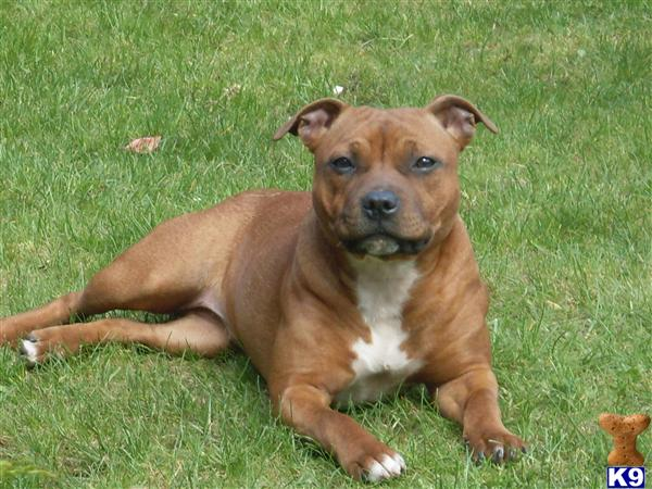 red staffordshire bull terrier red staffordshire bull terrier pups for sale 15964 8213