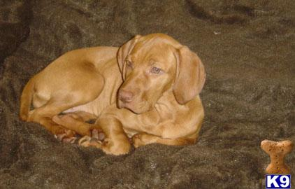 Vizsla Puppies on Vizsla Puppies For Sale