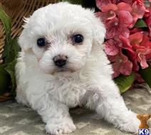 bichon frise puppy posted by angeladaniel627