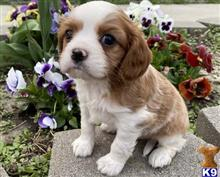 cavalier king charles spaniel puppy posted by angelakelvin0
