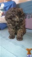 poodle puppy posted by angelathomas