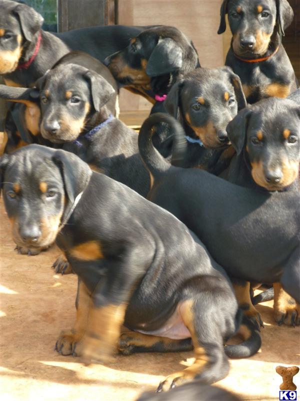 dog breeds of world poster. dogslabrador dogs breeds