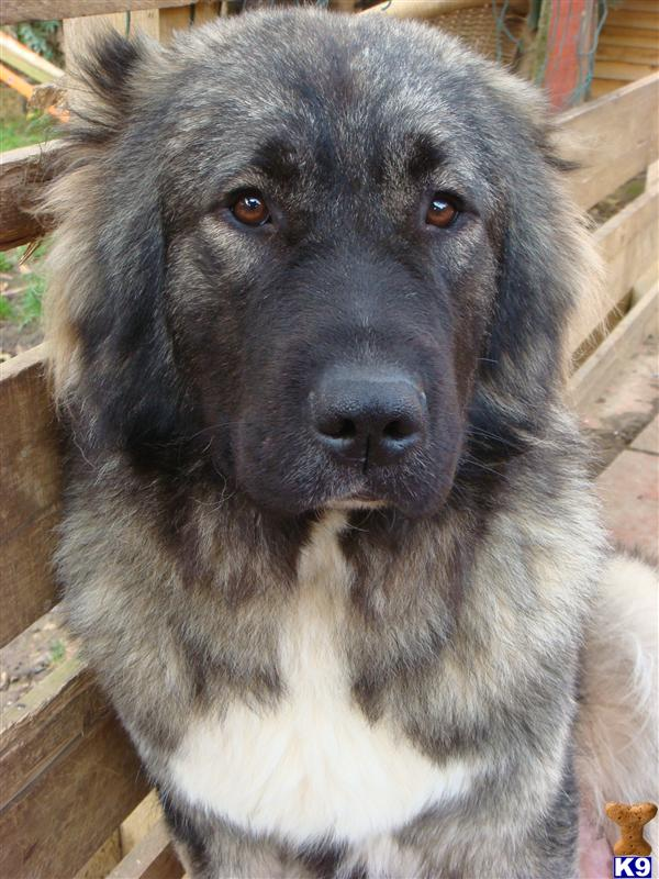 Ovcharka puppies for sale russian caucasian ovcharka dogs adult