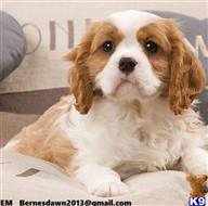 cavalier king charles spaniel puppy posted by asouza02