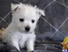 west highland white terrier puppy posted by bafok38627