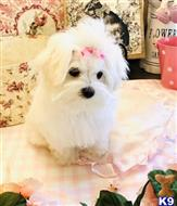 maltese puppy posted by bankona