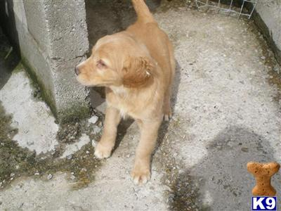 Lancaster Puppies on Lancaster Puppies For Sale