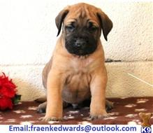 mastiff puppy posted by bbku7jk