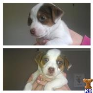 jack russell terrier puppy posted by beckyall