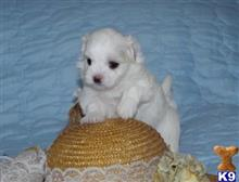 maltese puppy posted by bedrifusta