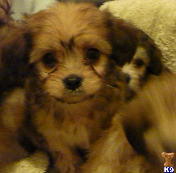 puppies for sale cavalier king charles spaniel f1 cavachon puppies