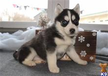 siberian husky puppy posted by benitarnest