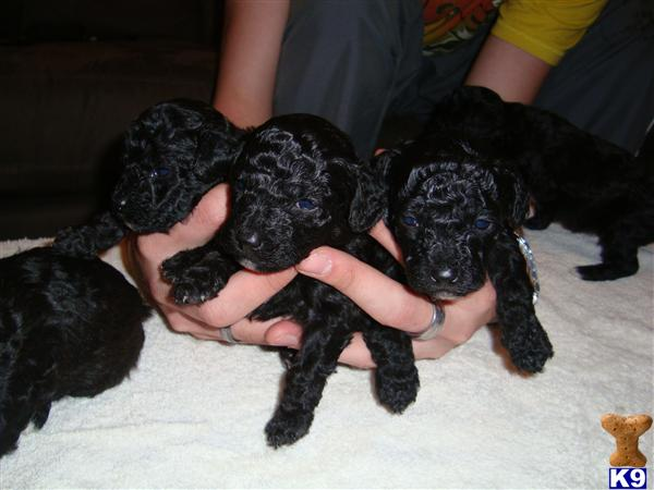 BICHON NOIR BLACK BICHON FISE - Bichon Frise Puppy for Sale in the UK