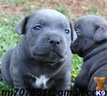 staffordshire bull terrier puppy posted by bhrandohlove