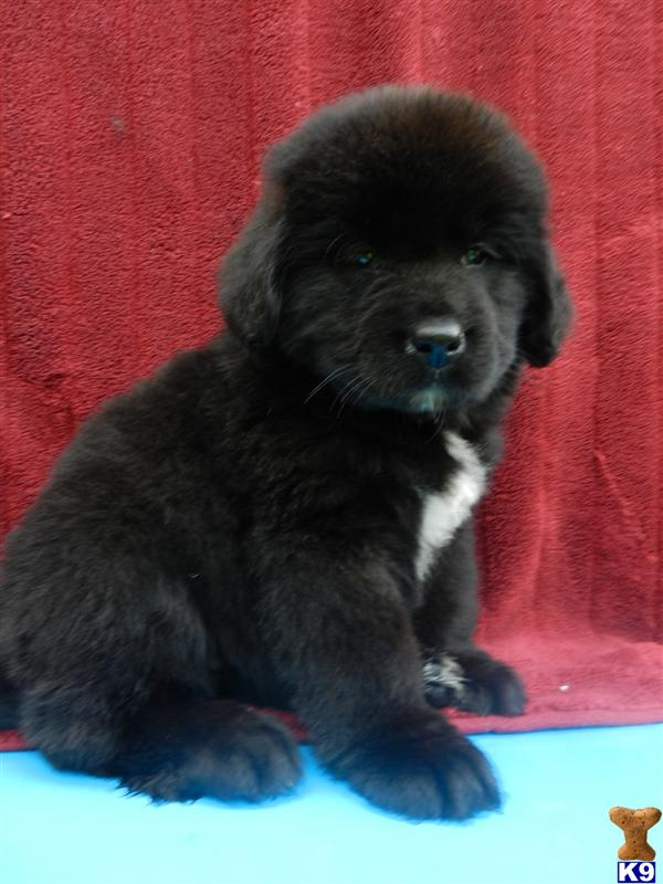 Newfypoo Puppies Newfoundland Cross Poodle 36710