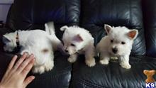 west highland white terrier puppy posted by BigglesworthWesties