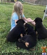 rottweiler puppy posted by binirak815