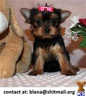 yorkshire terrier puppy posted by blana