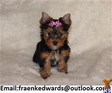 yorkshire terrier puppy posted by blanche