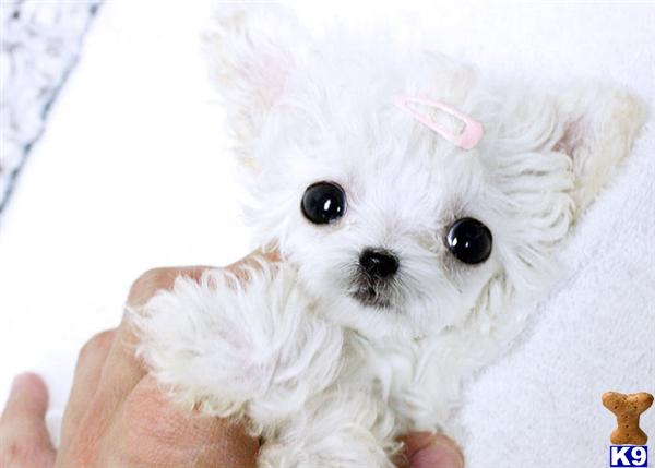 Micro Teacup White Poodle Female Available 27740