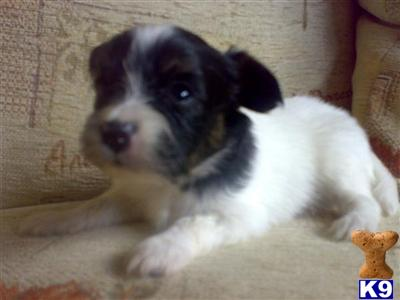 Papillon Puppies on Papillon Puppies For Sale