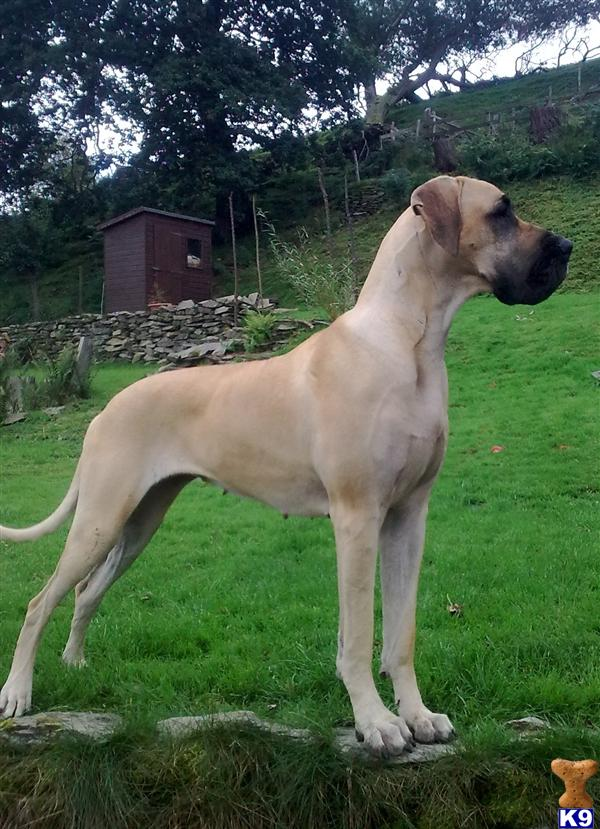 White great dane puppies for sale image search results