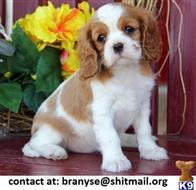 cavalier king charles spaniel puppy posted by branyse