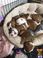 bulldog puppy posted by brayantgeorge