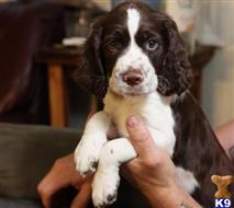 english springer spaniel puppy posted by brendajames286
