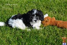 cavalier king charles spaniel puppy posted by bridgett29