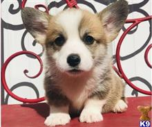 pembroke welsh corgi puppy posted by browncindy840