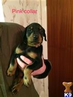 doberman pinscher puppy posted by Budgie123