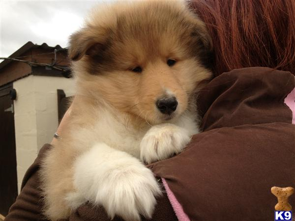 Home puppies for sale collie rough collie puppies