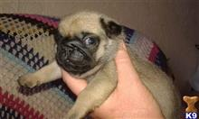 pug puppy posted by caerurfa